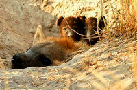 Hyena mum & cubs (Medium)