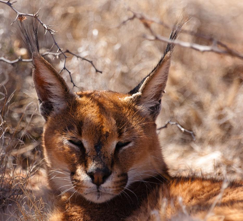 Southern Africa 6 Namibia Caracal Cheetahs