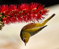 Waxeye in bottle brush
